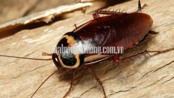 Gián là loài côn trùng đáng ghét và dơ nhất