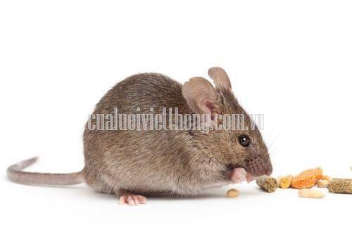 Chuột là loài tàn phá và lây bệnh nguy hiểm