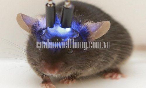 Chuột nhà được dùng làm vật thí nghiệm